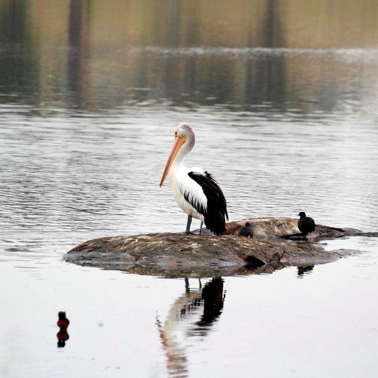 Good Morning Mr Percival.  #startthedaywithsomethingbeautiful #tenterfield #tenterfieldrocks #pelican #nsw  #australiancountry