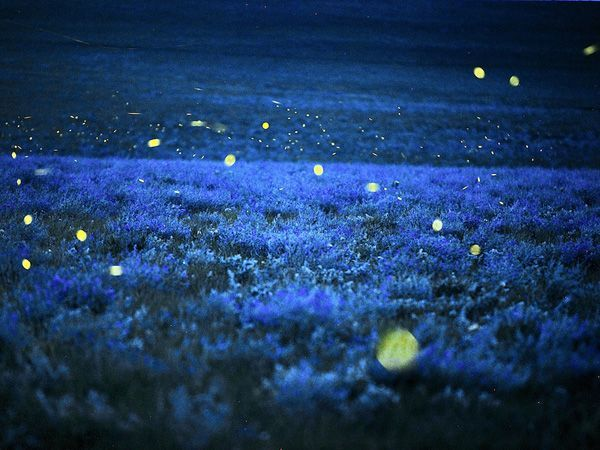 Fireflies  -  Fairies are invisible and inaudible like angels.  But their magic sparkles in nature.  ~Lynn Holland