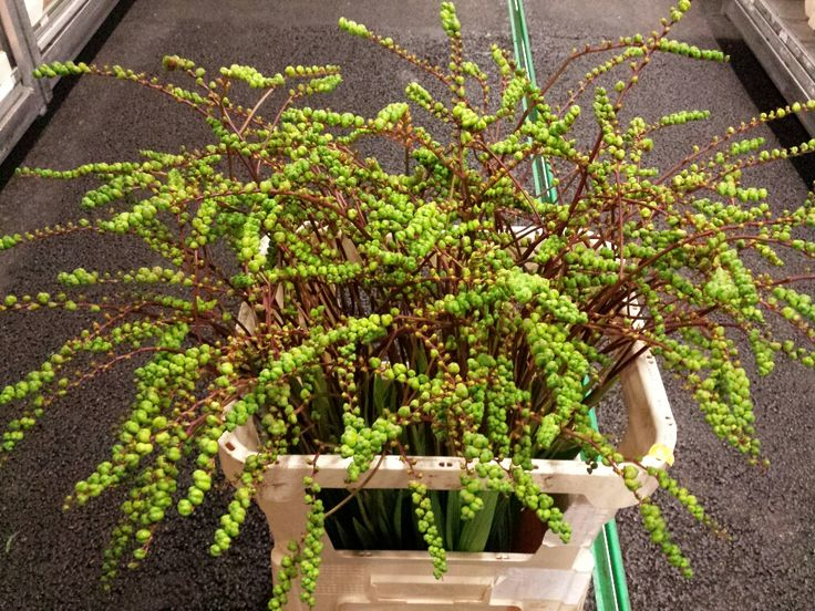 #Crocosmia #Fruit Green; Available at www.barendsen.nl