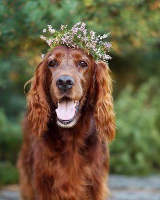 Irish Setter. S. Augustsson. Flower girl.