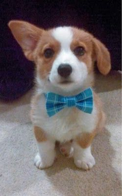 Corgie baby with bow. No words. Too cute. I cannot top this.