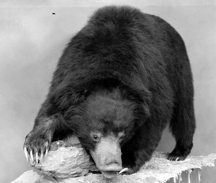 Mammal Monday, Sloth Bear.  Sloth bears have long lower lips which can be stretched over the outer edge of their noses, and lack upper incisors.  This sounds like a trick we'd love to see.  © The Field Museum, Z78605.  Sloth Bear (Melursus ursinus)...