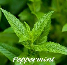 Sunburn Itch Relief = Pure Peppermint Oil (not extract)  Put oil directly on burned skin.  It will keep the skin cool and blocks extreme itch which usually happens on the 2nd or 3rd day.  Right after application stand in front of a fan for extra relief.
