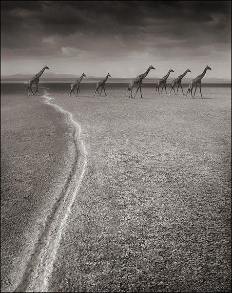Giraffes on Migration Trail, Amboseli, 2008 Nick Brandt