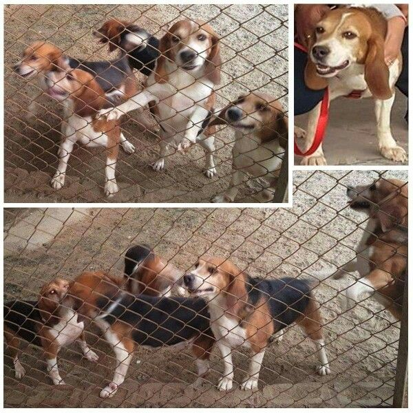 Beagle Freedom Project in India. Free at last.