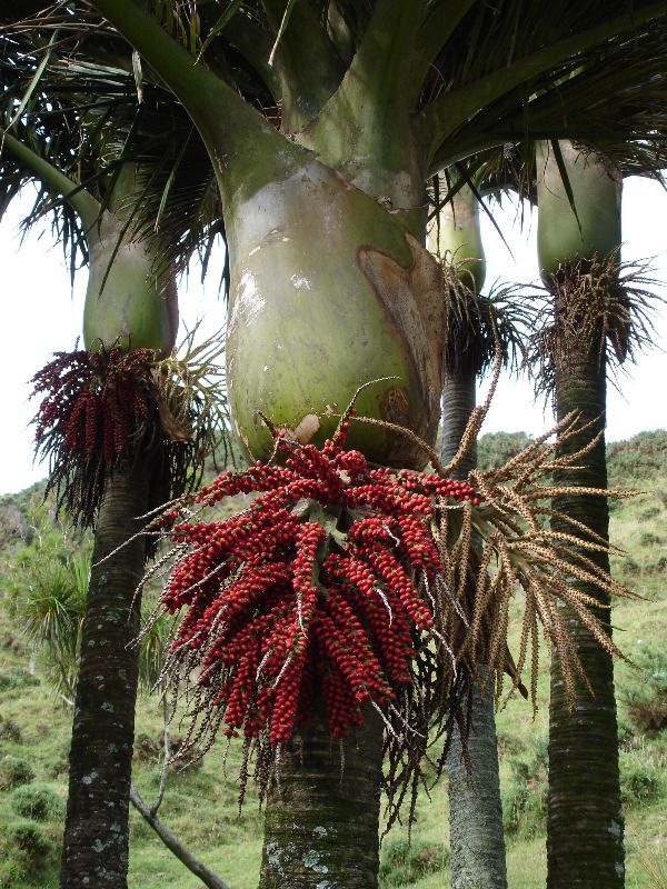Nikau palm, the only palm endemic to New Zealand, with it's 'fruit salad' (the fruit changes colours).