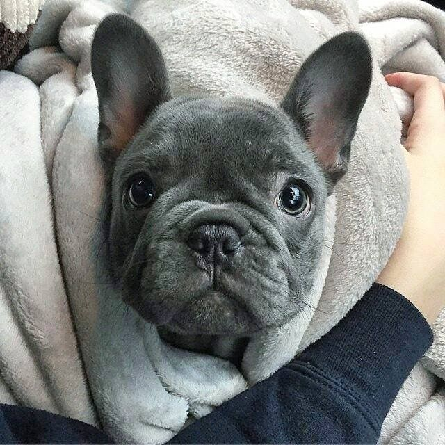 Bulldog Calm Courageous And Friendly Frenchies Dogs French