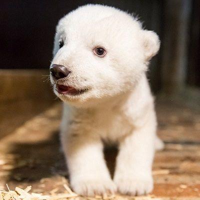 まっしろほわほわ! ドイツの動物園に誕生したホッキョクグマの赤ちゃん お名前が決まる