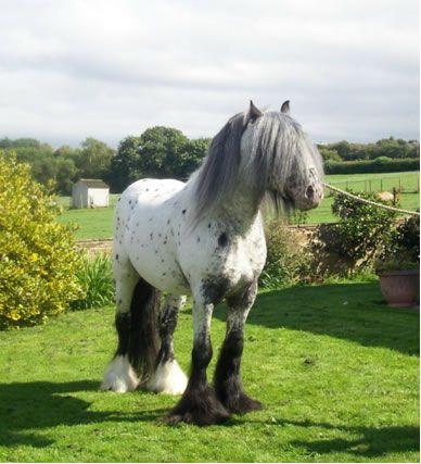 fluffy horses - photo #31