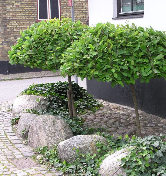 Salix caprea 'Kilmarnock', hängsälg beskuren