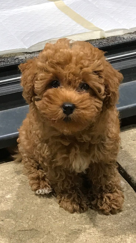 Cotonoodle toy - red poodle and Coton de tulear | Puppy ...