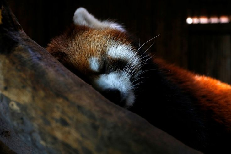 La tierna historia del panda rojo que se fugó del Zoológico de Santiago