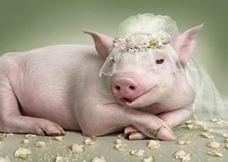 Pig Bride!!Wedding Dressses, Go Girls,  Pigs,  Grunter,  Squealer, Piggies, Theme Wedding, Animal, Big Day