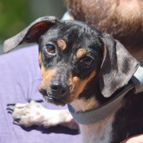 This Lonely Pup Needs A Home Dachshund Beagle Mixed Short