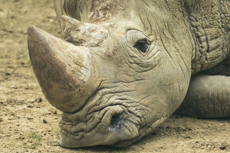 Finding a Cure to Poaching: Thanks to science, a U.S. startup is on track to end the illegal hunting of rhinos. More here: http://the8percent.com/finding-a-cure-for-poaching/