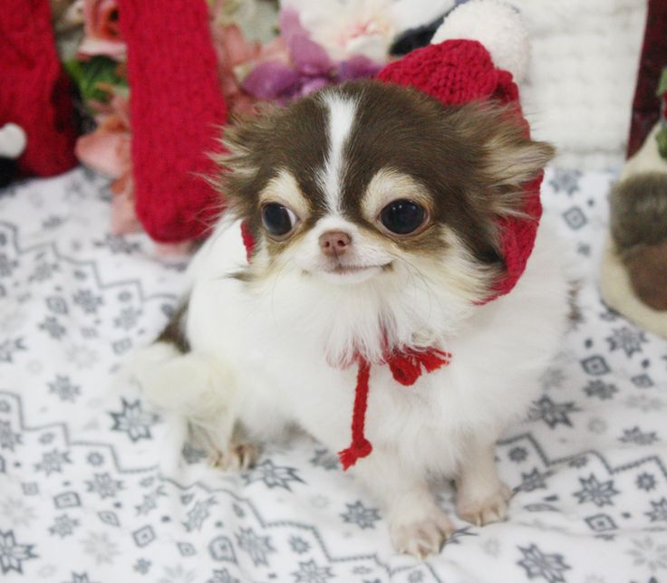 Teacup Chihuahua Puppies For Sale | Apple Head Chihuahua Breeders Online | Boutique Teacup Puppies