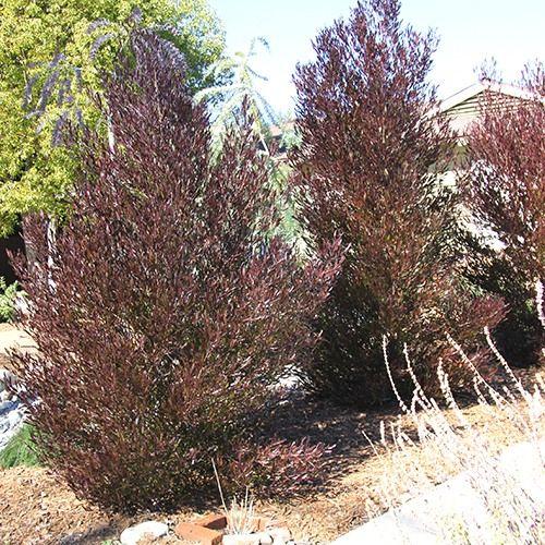 Purple Hopseed Bush Dodonaea Viscosa Purpurea Garden