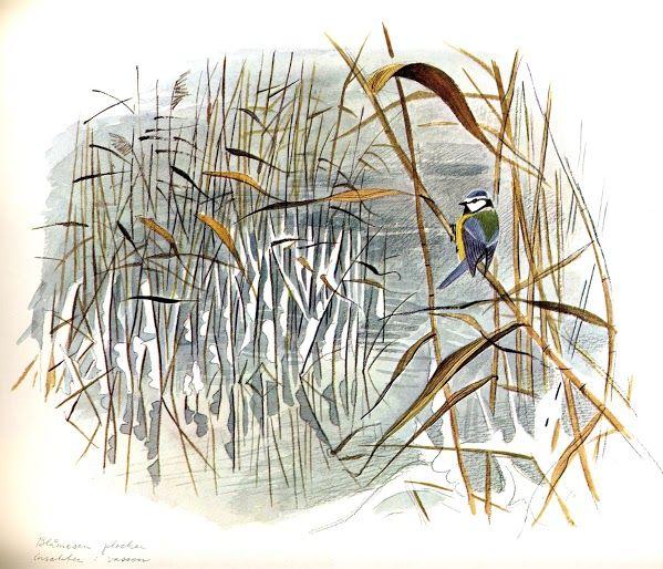 """""""Blåmesen plockar insekter i vassen"""" av Gunnar Brusewitz. Från boken """"Anteckningar från en strand"""""""