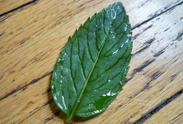 La menthe est une de mes plantes préférées. Très facile à cultiver, elle contient 3 vertus secrètes. Découvrez l'astuce ici : http://www.comment-economiser.fr/vertus-menthe.html