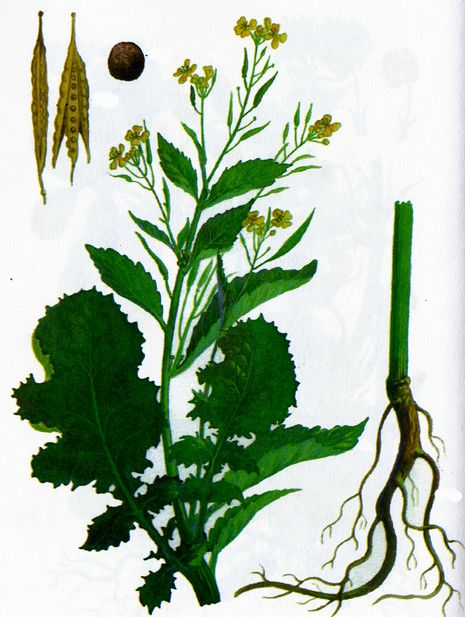 Как сеять горчицу для удобрения почвы