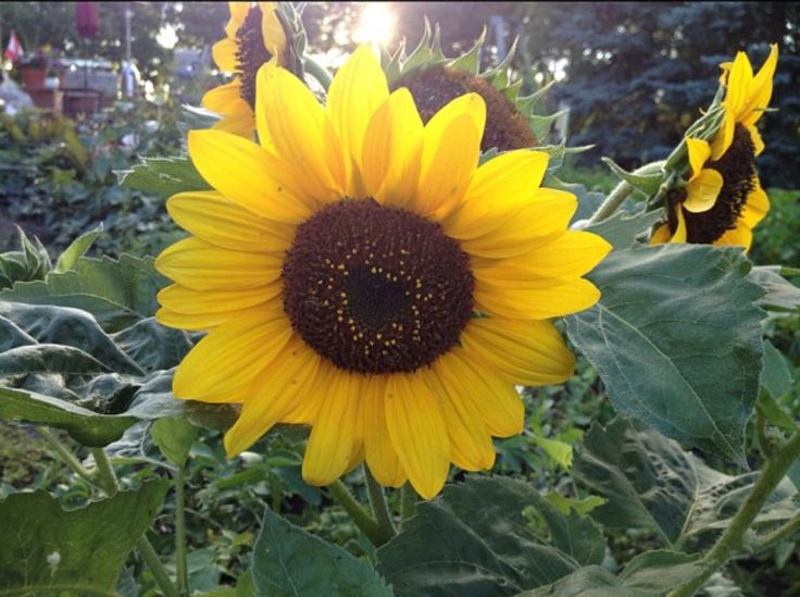 Beautiful Sunflower! How I miss country living❤️