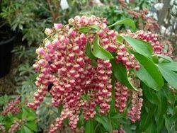 Pieris japonica 'Valley Valentine'