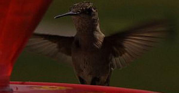 Cómo alimentar un colibrí con agua azucarada. Muchos dueños de casa disfrutan de ver cómo los colibríes visitan las coloridas flores que crecen en el jardín. Para atraer más colibríes, coloca comederos para colibríes de colores brillantes afuera, y llénalos con una solución de azúcar y agua que puedes hacer fácilmente en la cocina. Mantener un comedero para colibríes principalmente involucra ...