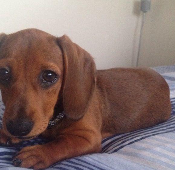 The 25+ best Teacup dachshund ideas on Pinterest | Beagle ...