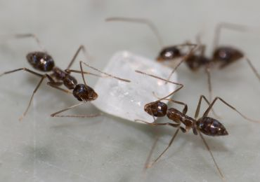 how to get rid of black sugar ants