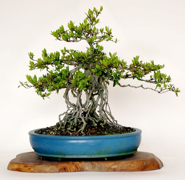 25 best ideas about types of bonsai trees on pinterest for Different kinds of bonsai trees