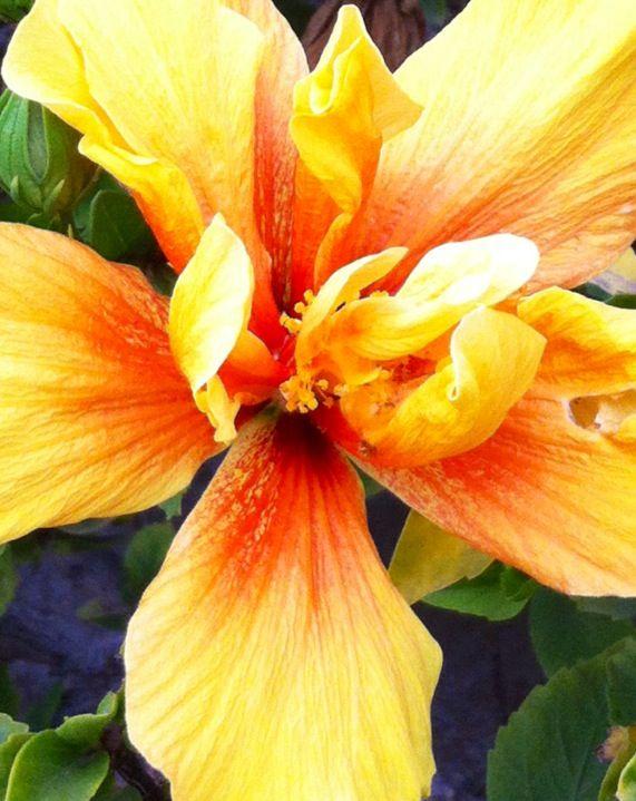 Flor de Hibisco amarillo Foto Iphone 4S camera