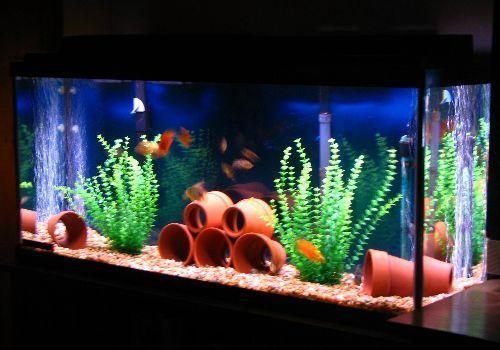 Blood parrot cichlid tank mates aquarium enthusiasts for Your fish store