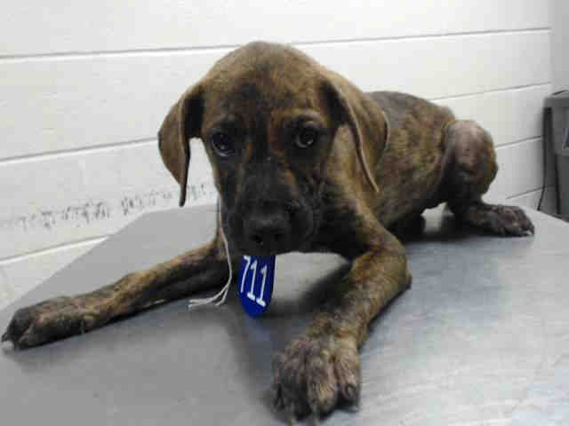 08/10/15-HOUSTON - - PUPPY ALERT!!! NEEDS OUT IMMEDIATELY!! This DOG - ID#A440232 I am a male, brown brindle and black Mastiff and Great Dane. My age is unknown. I have been at the shelter since Aug 10, 2015. This information was refreshed 57 minutes ago and may not represent all of the animals at the Harris County Public Health and Environmental Services.