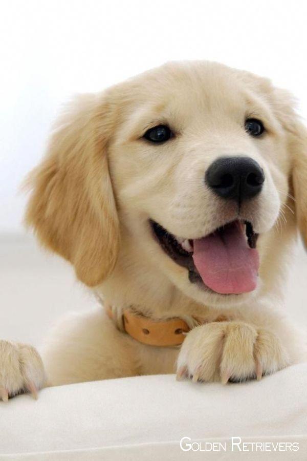 Golden Retriever Puppy Goldenretrievershirt Goldenretrieversofig