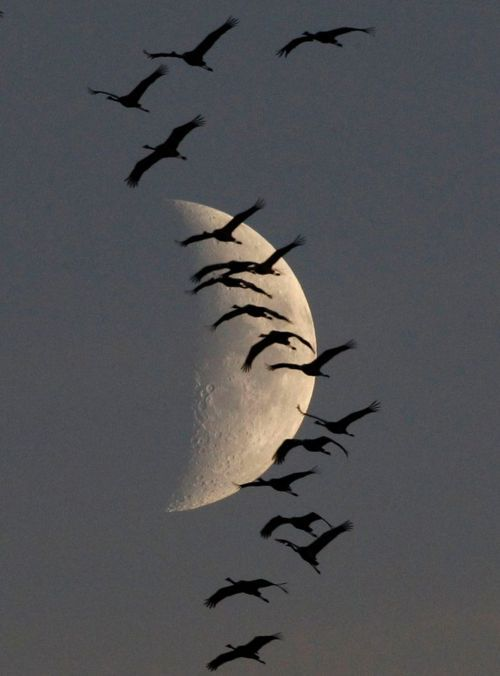 Flock of migrating cranes flies in front of the moon. Such a pretty scene...love this!!