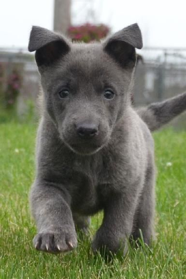 Blue Dutch Shepherd puppy for sale at Cher Car Kennels - handsome!
