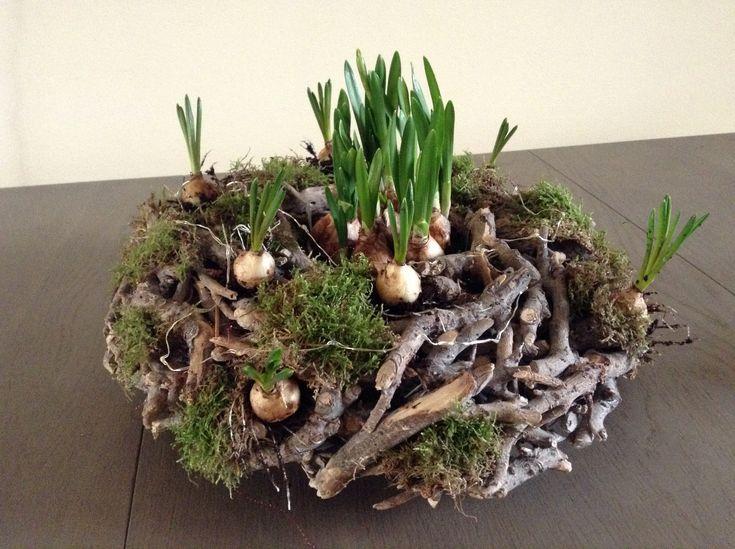Lekker weer voorjaarsbolletjes in huis Op een wortelkrans wat bolletjes gestopt in de openingen en hier en daar wat mos