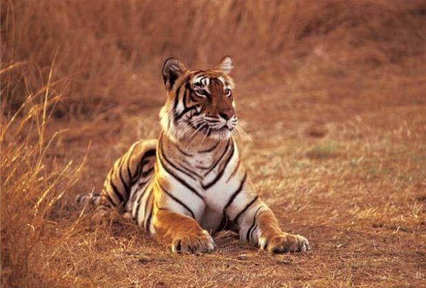 Tigers are some of the most beautiful creatures on earth.