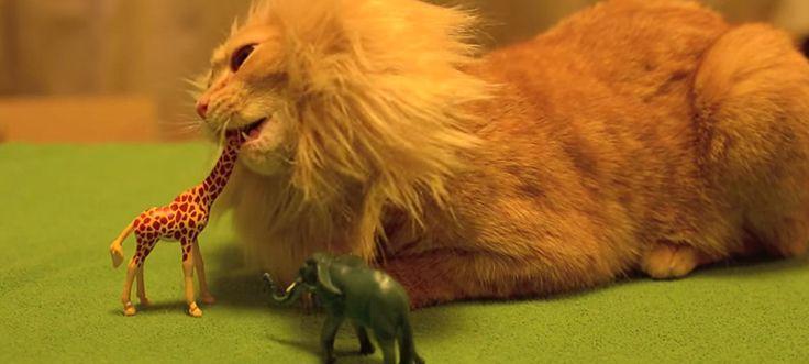 Il nuovo re: il gatto della savana! - Play viral