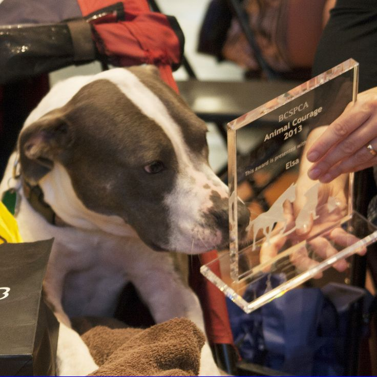 Elsa, a gorgeous pit bull who battles a paralyzing condition herself, is also a visitation dog who provides friendship and support for people with brain and spinal cord injuries. How could we not honour her with our 2013 Animal Hero Award?! Click to read more
