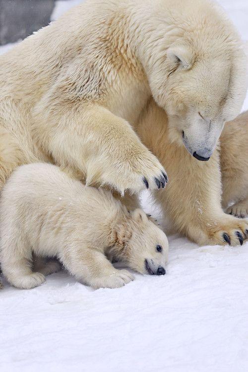 Polar Bears  by Sergei Gladyshev