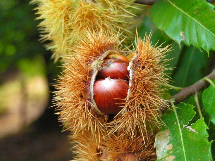 Finder heraus, wie du die Blätter der Edelkastanie als Heilmittel nutzen und ihre leckeren und gesunden Früchte vielfältig zubereiten kannst. - Bild von Benjamin Gimmel [GFDL, CC-BY-SA-3.0 or CC BY-SA 2.5-2.0-1.0]