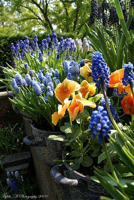 Traubenhyazinthen (Muscari) in Töpfen für Balkon und Terrasse. Gepflanzt werden die Frühlingsblüher als Blumenzwiebeln im Herbst.