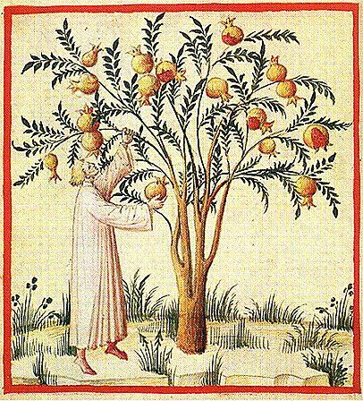 Harvesting pomegranates.