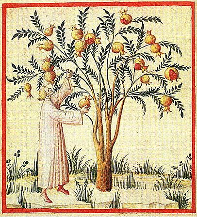 Harvesting pomegranates. The Tacuinum of Rouen - early 15th century