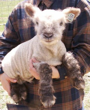 baby lambs for my dream farm.