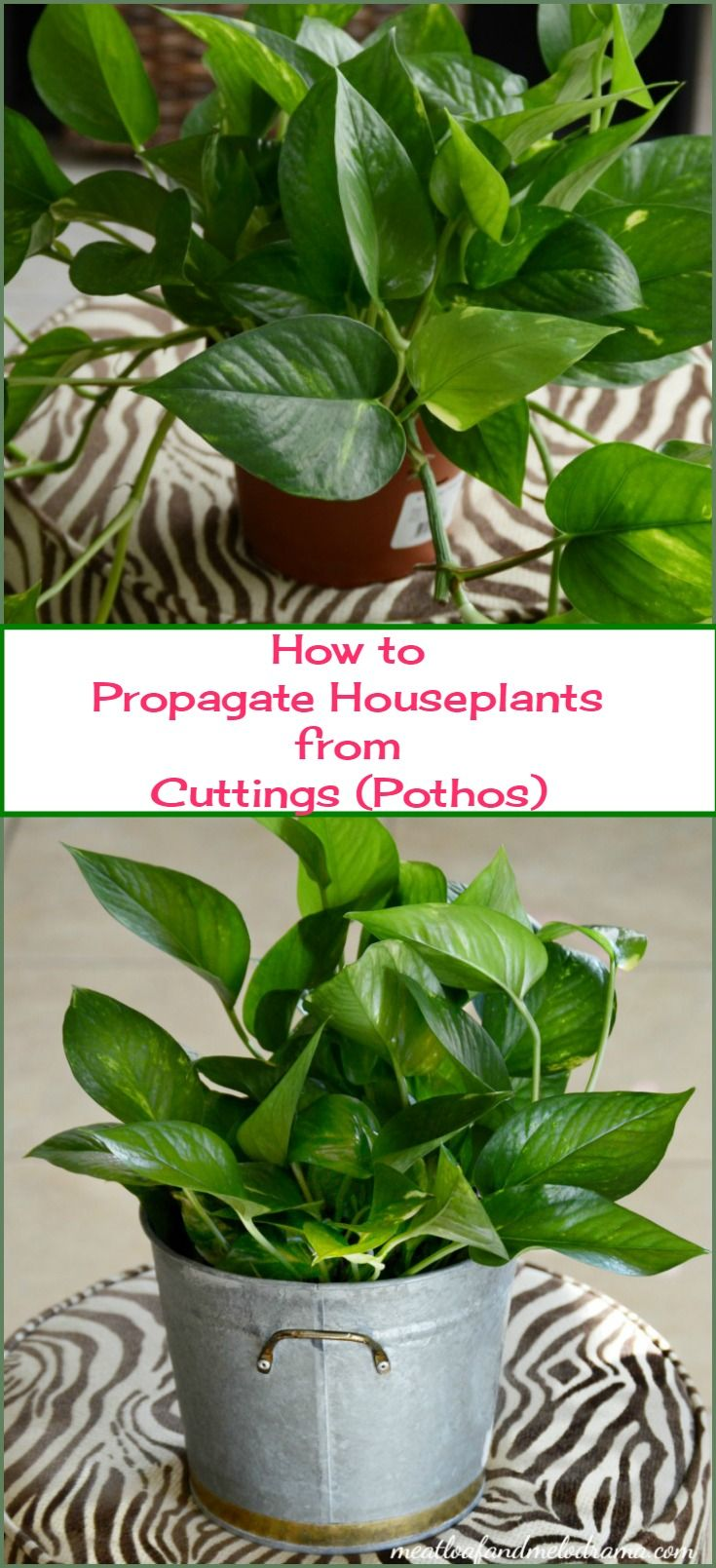 You can easily propagate houseplants from cuttings and grow your own plants instead of buying more. Pothos are super easy to grow in water!