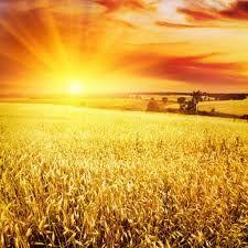 пшеничные поля России