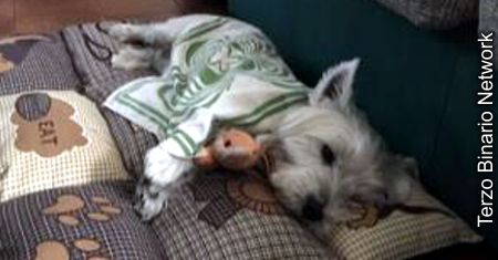 ARCORE (MB): SMARRITO SPIKE, CANE BIANCO WEST HIGHLAND TERRIER http://www.terzobinarionetwork.com/2016/12/arcore-mb-smarrito-spike-cane-bianco.html