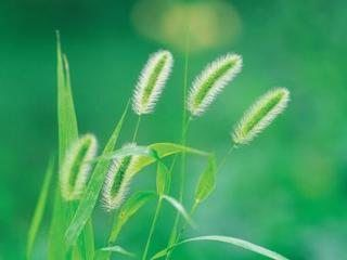 How to Use Vinegar to Kill Foxtail Weeds | eHow
